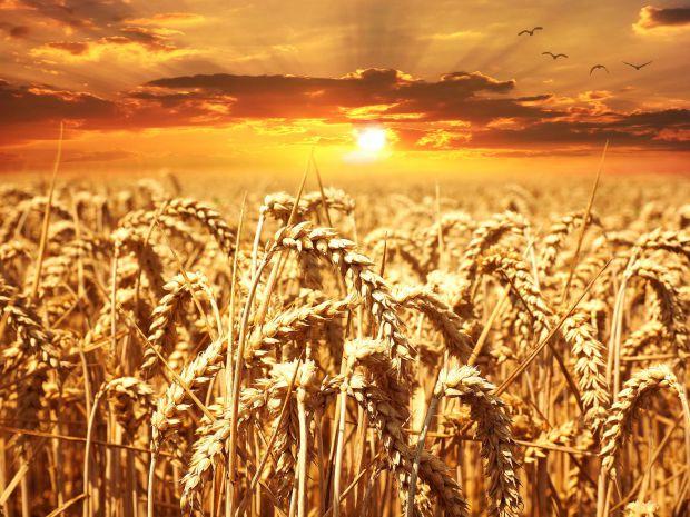 жито, слънце, житен режим, петър дънов