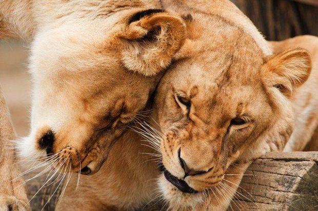 зодия лъв, двойка, по-късно, визия