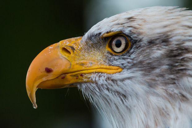 Орелът има 8 пъти по-добро зрение от човека