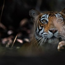 Индийски фотограф улавя спиращи дъха моменти от живота на тигрите