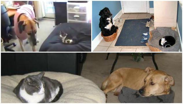 Сладките реакции на кучета, които имат котка в леглото