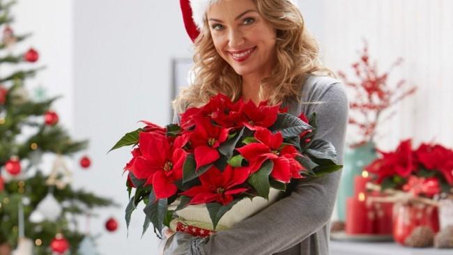 Как да се грижим за Коледната звезда