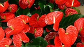 Антариум - цветето на Водолей