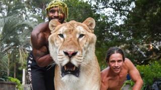 Запознайте се с Аполо - най-красивият хибрид между тигър и лъв