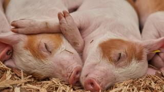 В Годината на свинята проверете с този тест: Свиня ли е мъжът ми?