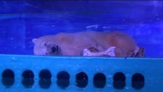 Вижте какво се случи с най-тъжната полярна мечка, която страдаше в мол