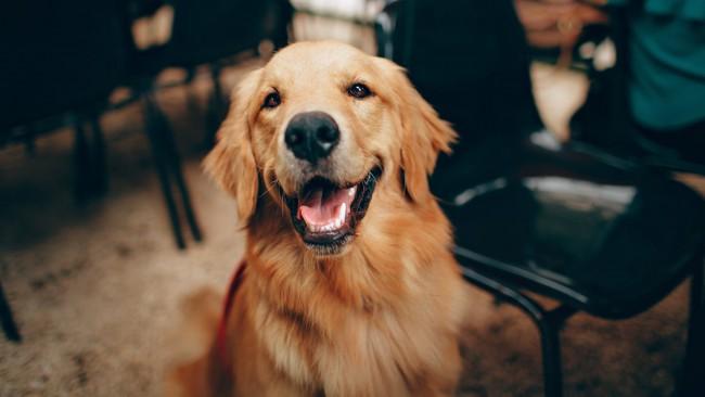 Днес е Световен ден на голдън ретривъра: Кучетата със златни сърца