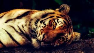Надя - първият тигър в света с КОВИД-19