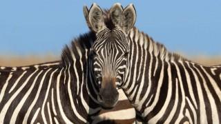 Интернет се раздвои: Коя зебра гледа към фотоапарата?
