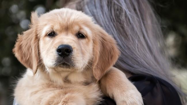 Кученце - голдън ретривър трогна сърцата на интернет потребителите! (Видео)