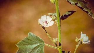Бялата ружа: 'Официалният лечител' на сухата и влажна кашлица