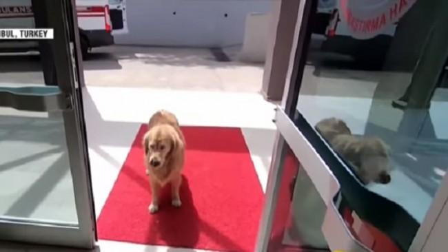 Куче прекоси половин Истанбул, следвайки линейката със стопанката си (видео)